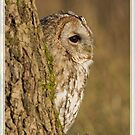 Tawny owl in tree by AngiNelson