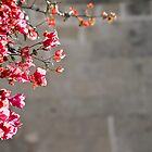 Bougainvillea by PhotoWorks