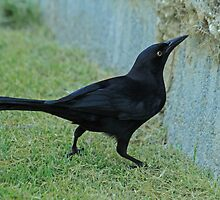 Greater Antillean Grackle by Robert Abraham