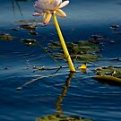 Water lilly, Kakadu, Australia by Bill  Russo