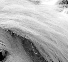 Buck-Eye - Belgian Draft Horse Colt by Michelle Garrison
