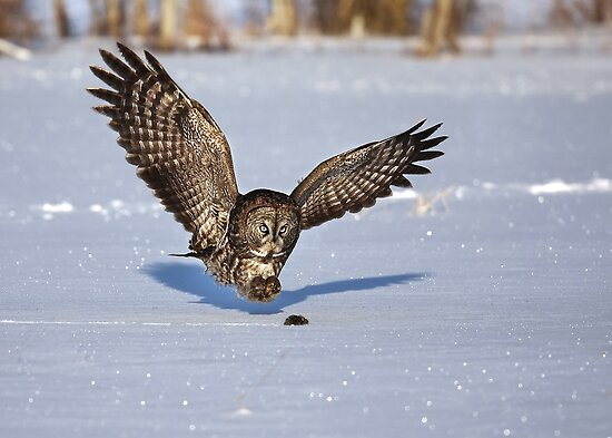Great Grey owl catches a mouse by Jim Cumming