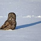 Great Grey Owl casts a long shadow by Jim Cumming