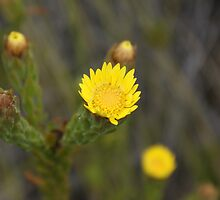 fynbos flower 2 by cherryT