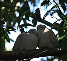 Eurasian Collared Dove by D R Moore