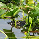 Alligator-Florida Everglades by mmcc0713