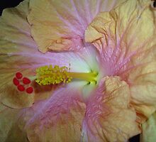 Pale Apricot Hibiscus with Pink Centre. by Mywildscapepics
