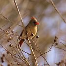 Friendly Female Cardinal by rasnidreamer