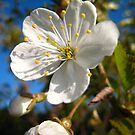 Blossom at Newby Bridge by ellismorleyphto