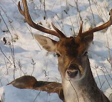 Fallow deer in the snow 13 by DutchLumix