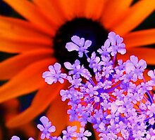 Orange and Lavender Flower by schiabor