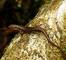 BLUE SPECKLED FOREST SKINK - Sphenomorphus murrayi by Normf