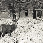 Winter Stag by Peter Denness