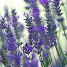 Lavender dreams by Alicia  Liliana