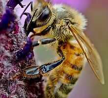 Bee on purple flower by Richard Majlinder
