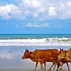 Cows on the Beach by Julian Fulton-Boote