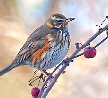 Redwing by Krys Bailey