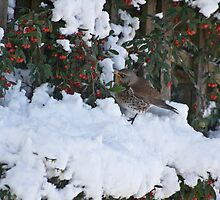 Fieldfare by Gaina