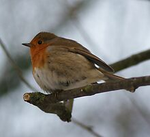 Robin Close Up On Branch by davesphotographics