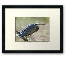 Great Blue Heron on branch Framed Print