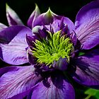 Clematis, Garden Beauty by Nancy Bray