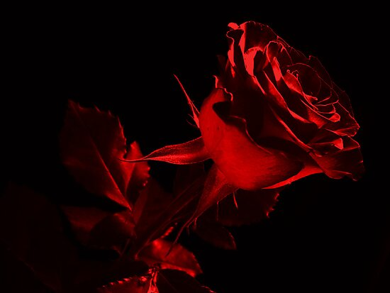 One Lovely Rose.Red. by Vitta