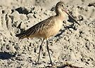 Shorebird aka Marbled Godwit by Betsy  Seeton
