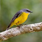 Yellow Robin. by trevorb