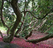 Holker Hall, Cumbria, rhododendron forest by BronReid