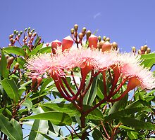 Pink Flowering Gum Tree with Blue Sky & Clouds Behind. by Mywildscapepics
