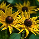 Sunny Rudbeckias by JHRphotoART