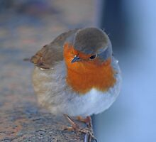 winter robin by jaffa