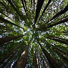Redwood Forest  by Matt  Streatfeild