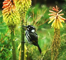 New Holland Honeyeater No 2 by TracyD