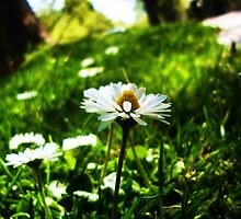Daisies on the Rockley Roadside by startori