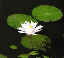 Bali - Water Lily by soulimages