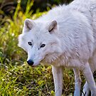 Arctic Wolf - Montebello, Quebec  by Michael Cummings