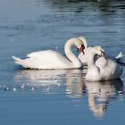 Swans by mogue