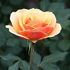 Beautiful Rose by DARRIN ALDRIDGE