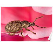 Pinky-beetle Poster