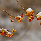 Snow berries by rsphoto