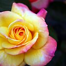 Gorgeous Rose Blooming by Jade Thorby
