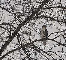 Hawk-After the Snow Storm by amyklein196203