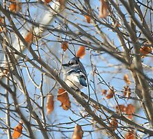Blue Jay by amyklein196203
