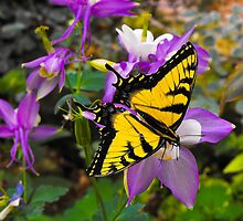 Western Tiger Swallowtail II by VisionsbyCheryl