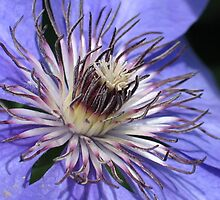 Clematis Center 3 by art2plunder