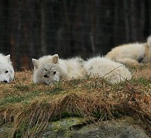 Peaceful Wolf Pack by Yannik Hay