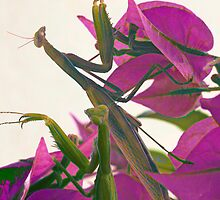 two mantises praying on bougainvillea by pahit
