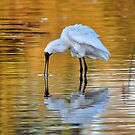 Royal Spoonbill by Moorey