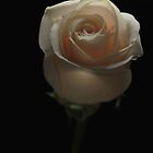 White Rose by dlwagner